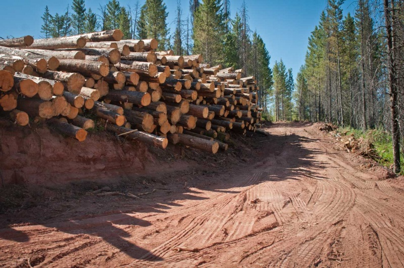 A massive stack of lodgepole pine trees along a newly cut road at the edge of a clear cut.