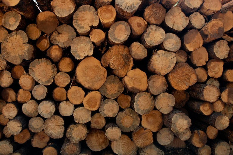 The tell tale blue staining indicates that these immature lodgepole pines were killed by Mountain Pine Beetle infestation then cut to be used for biomass energy generation.