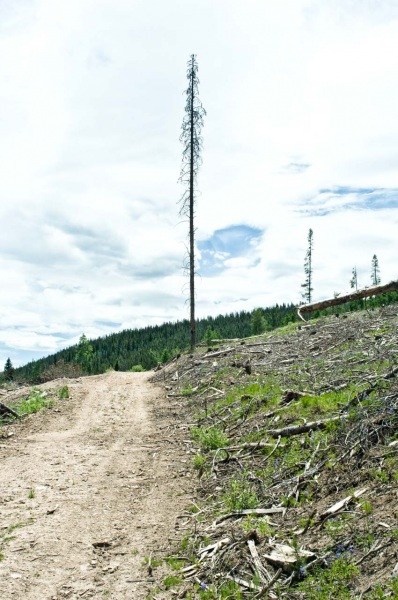 A dead lodgepole pine tree on the edge of a new logging road created during a massive clear cut operation to harvest lodgepole pine trees for biomass energy generation.