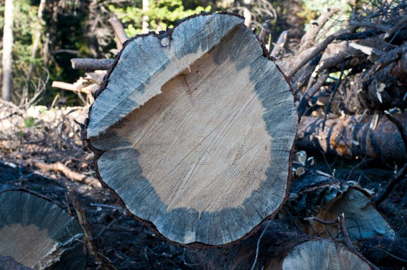 When Mountain Pine Beetles infest a a lodgepole pine tree they stain the inside of the tree blue.