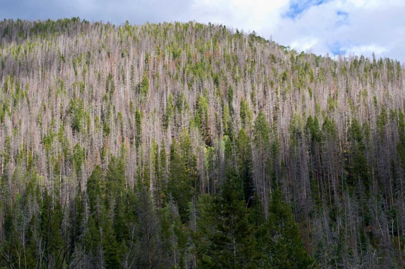 Gray phase is the final stage of Mountain Pine Beetle infestation in lodgepole pine trees.