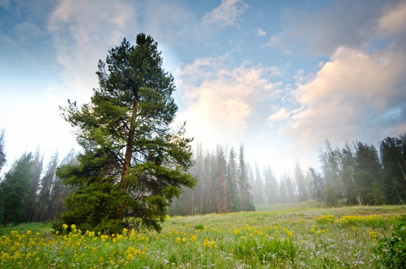 Early morning mist in a lodgepole pine forest.