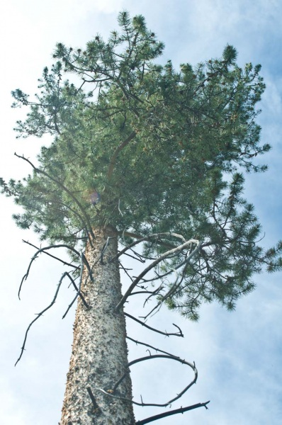Looking up the trunk of a lodgepole pine tree towards its crown.