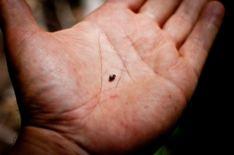 Although no smaller than a grain of rice, Mountain Pine Beetles are responsible for large scale destruction through infestation.