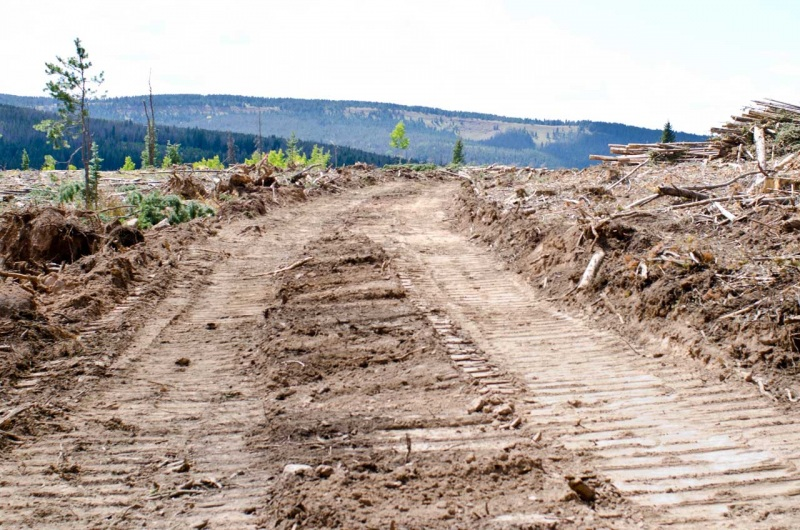 A new logging road in a lodgepole pine clear cut.