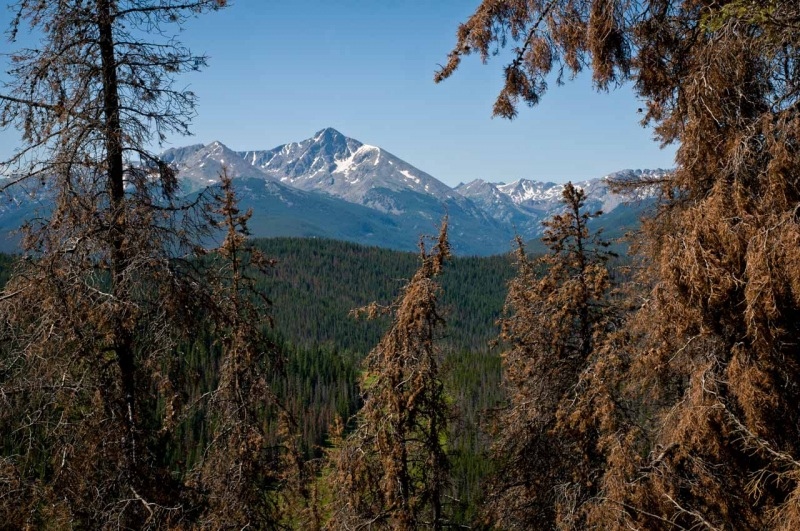 Lodgepole pine trees in red phase Mountain Pine Beetle infestation framed around Mount of the Holy Cross in Colorado.