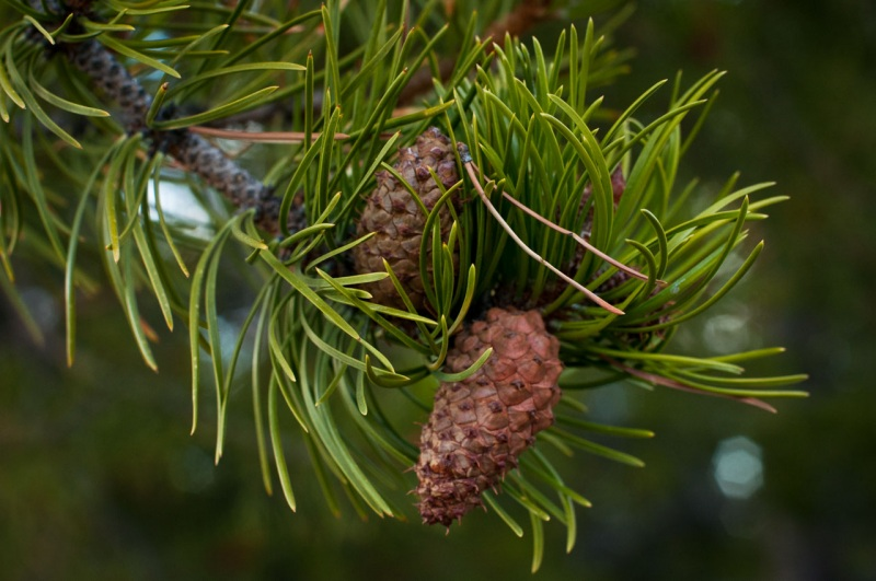 Rocky mountain lodgepole pine trees have predominantly serotinous cones.