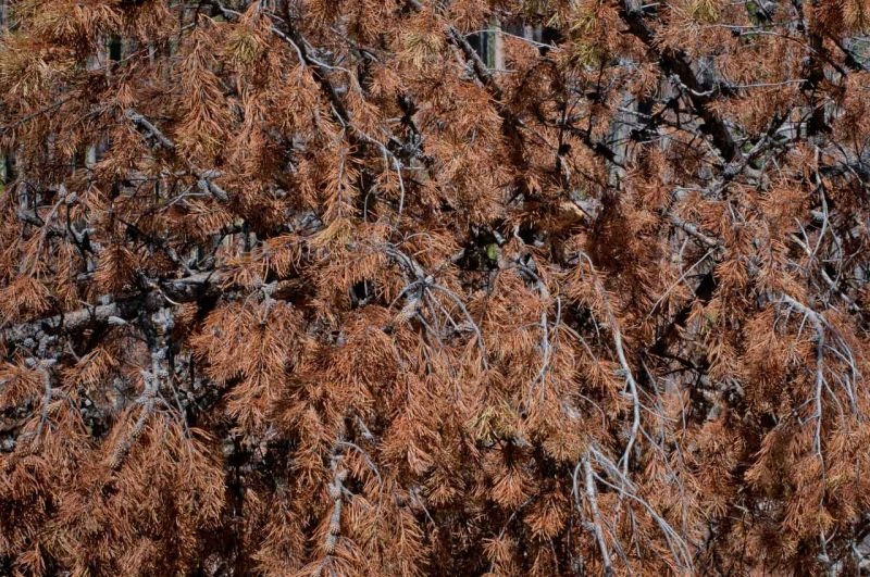 Needles of a lodgepole pine tree in red phase Mountain Pine Beetle infestation.