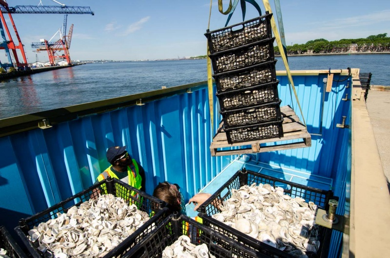 Loose oyster shells being loaded into shipping containers at Red Hook Terminal for transport up the East River in New York City to the Billion Oyster Project oyster reef restoration in Soundview.
