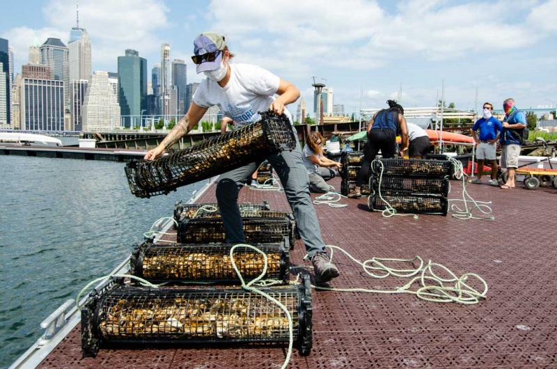 Team members from Billion Oyster Project prepare cages filled with oyster spat on shell at a new oyster nursery in Brooklyn Bridge Park.