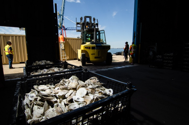 Loose oyster shells wait to be loaded into shipping containers at Red Hook Terminal in Brooklyn that will be used for the Billion Oyster Project Soundview oyster reef restoration.