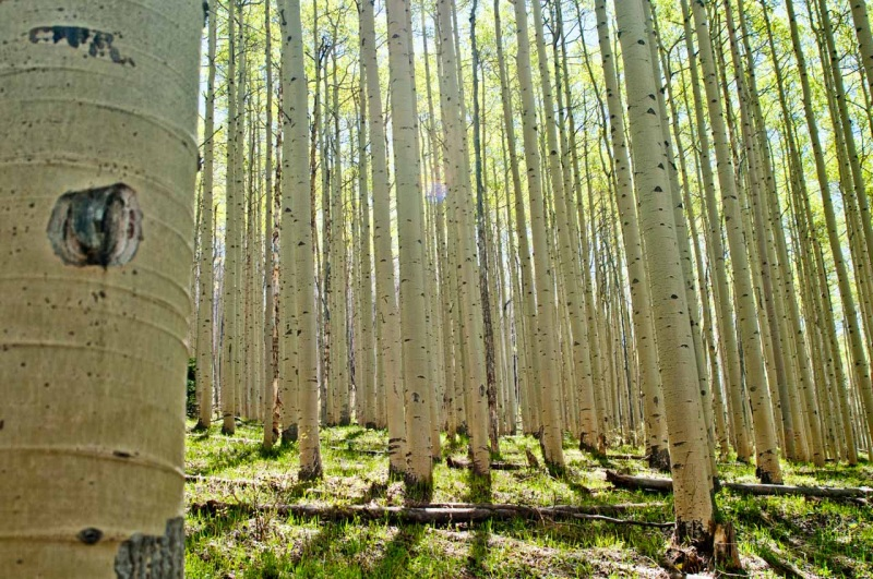 Spring sunshine filters through an aspen forest.