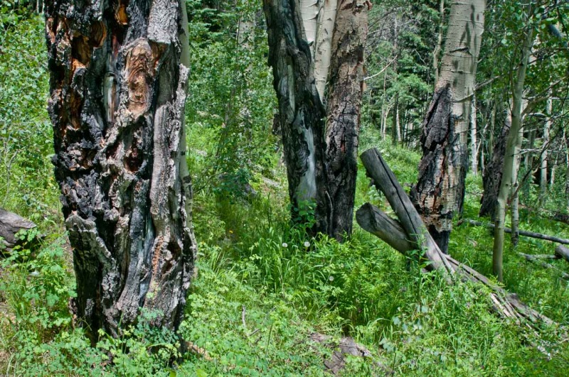 Large aspens in Northern Colorado with massive hypoxylon cankers that kill the trees within 3-5 years of infection.