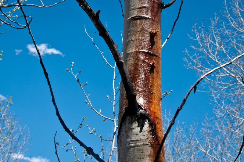 An aspen tree bleeds from an aspen borer infestation.