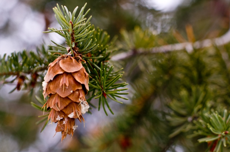 "A Douglas fir cone with the easily recognizable ""mouse tail""."