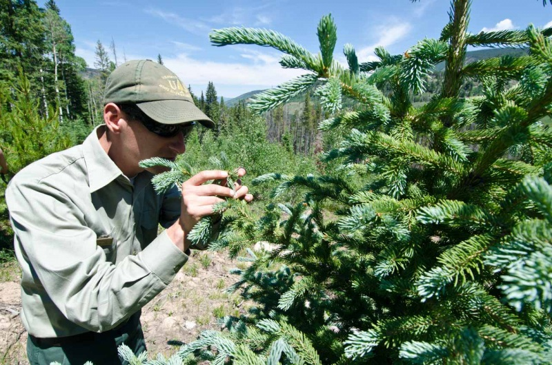 A US Forest Service Ranger examines the needles of a Blue Spruce tree in Northern Colorado.