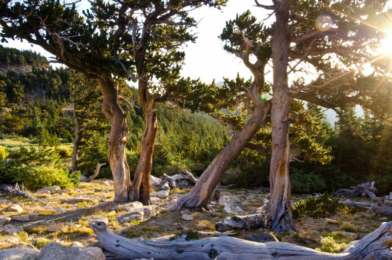 First light on Rocky Mountain bristlecone pine trees on Mount Evans.