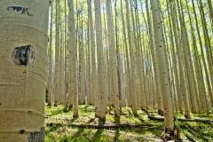 Spring sunshine filters through an aspen forest.