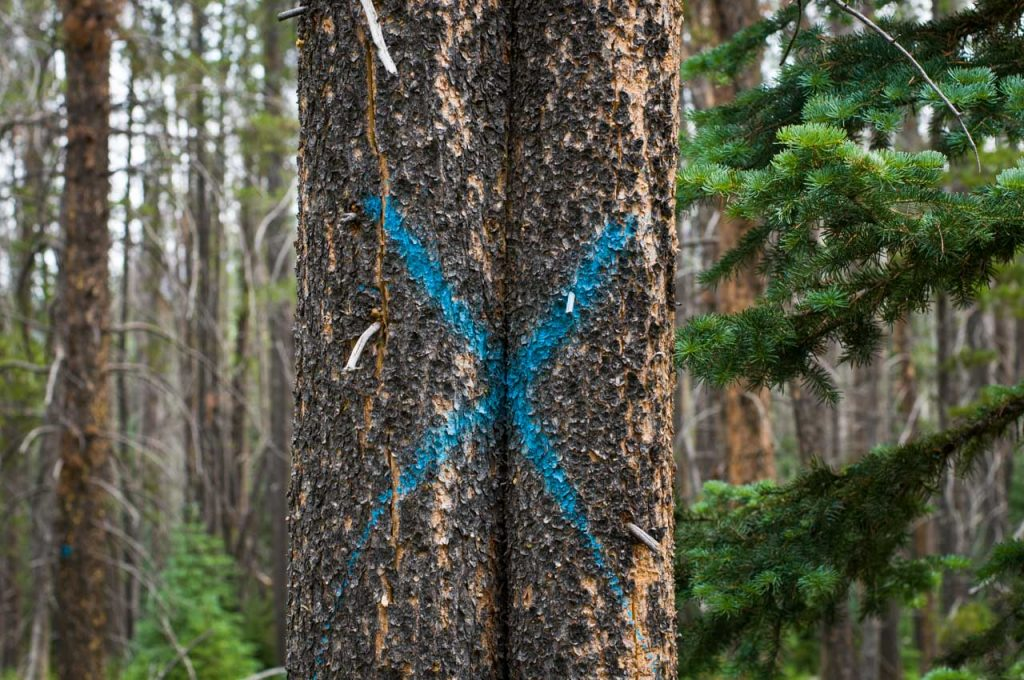 Lodgepole pines marked for removal