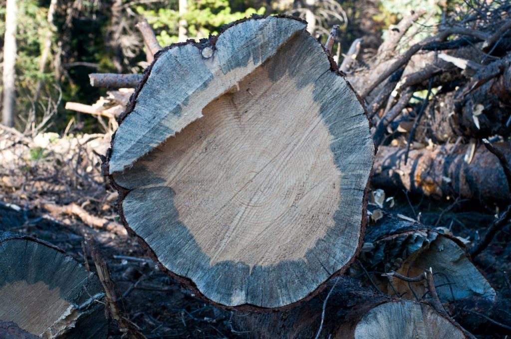 Blue Staining from Mountain Pine Beetle infestation