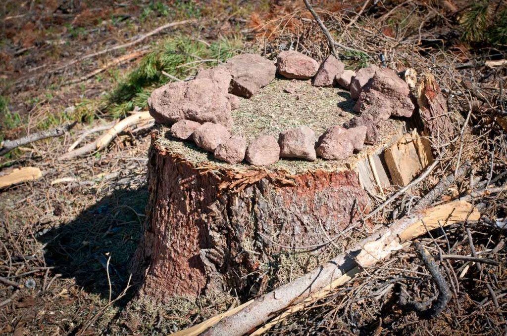 Memorial for a Centuries Old Lodgepole Pine Tree