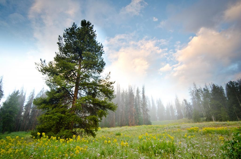 Morning Mist in a Lodgepole Pine Forest