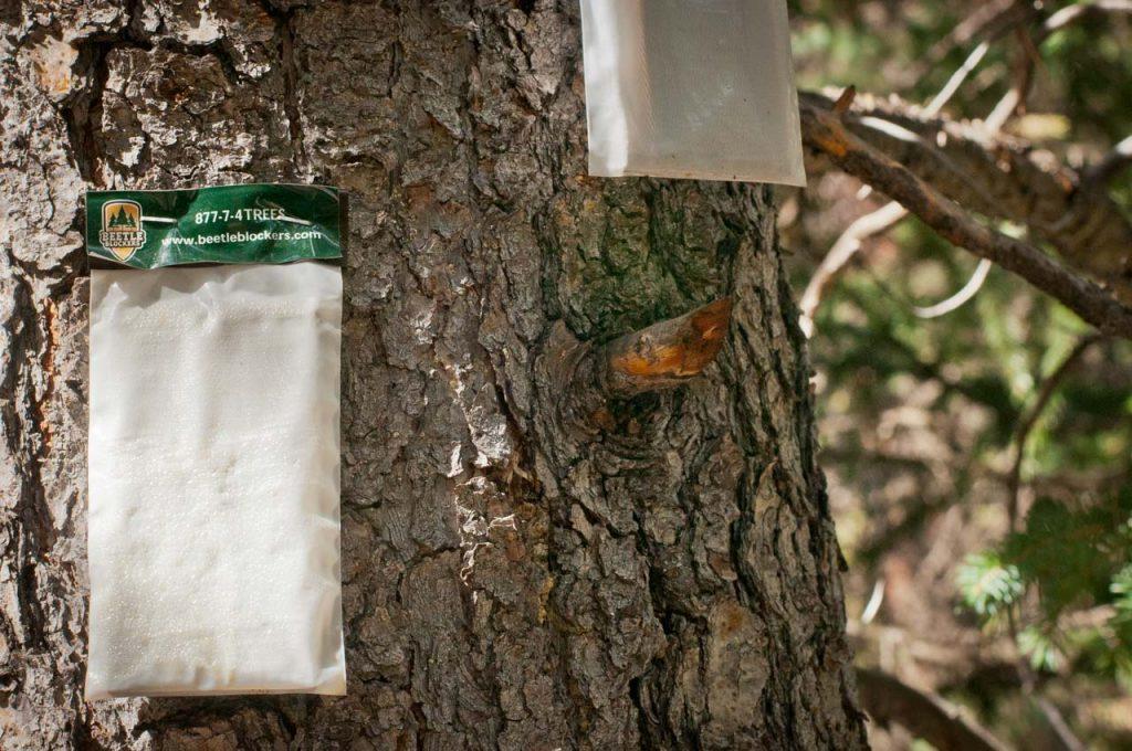 Pheromone Bags on a Lodgepole Pine Tree