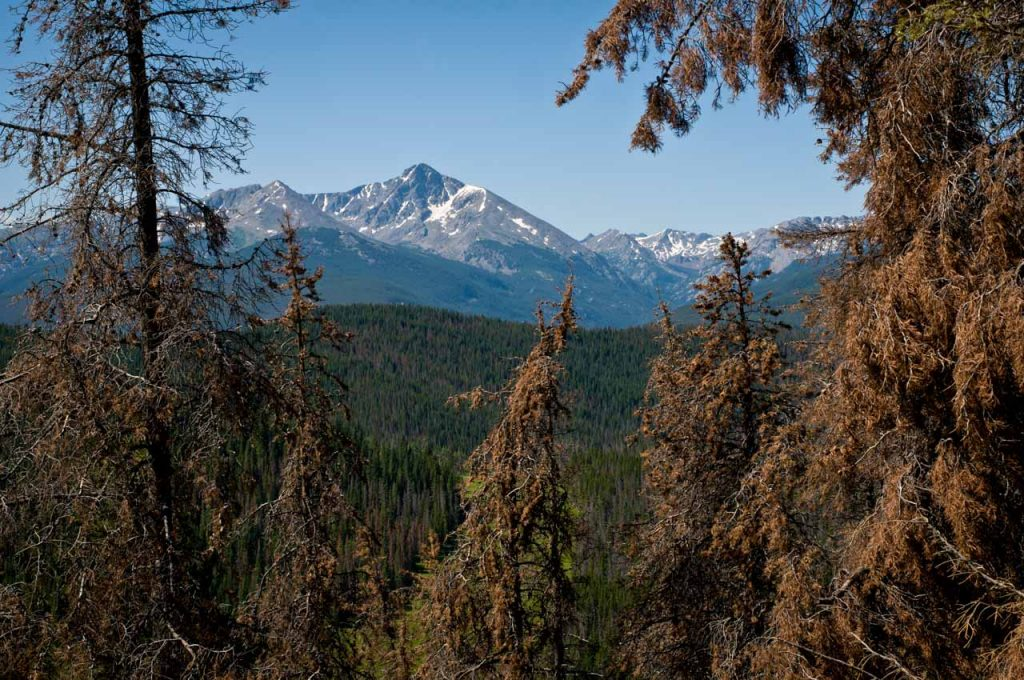 Mount of the Holy Cross and Infested Lodgepole Pine Trees