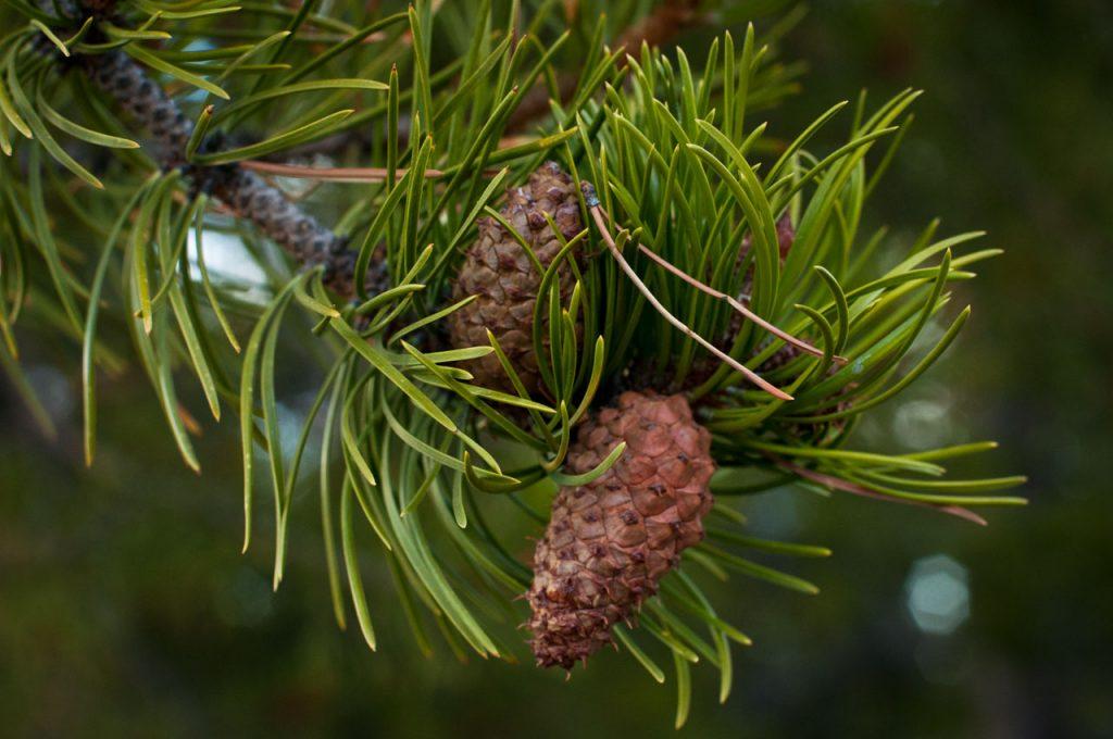 Rocky Mountain Lodgepole Pine Cones