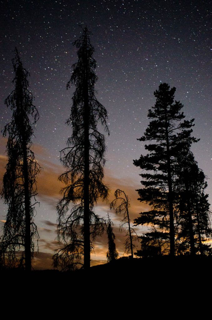 Lodgepole Pines and Starlight